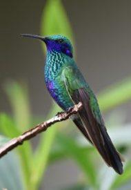Le colibri un allié chamanique pour le cœur
