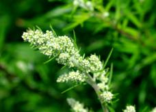 Armoise Commune, une plante médecine aux mille vertus