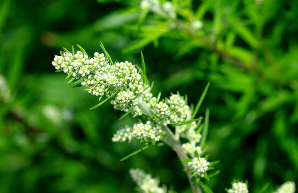L'armoise, une plante-médecine aux multiples vertus !