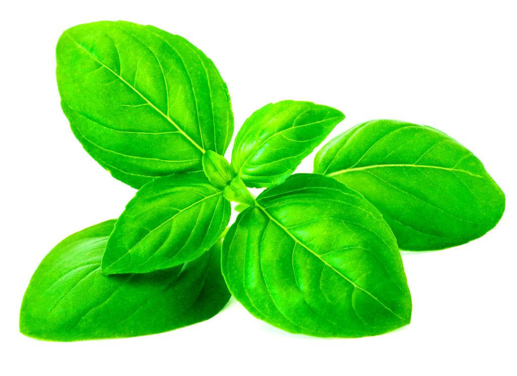 Découvrez le basilic, la plante royale aux mille vertus !