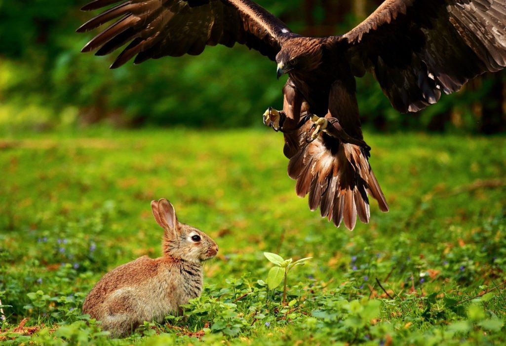 Lapin prédaté par un aigle