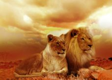 Lionne et Lion d'Afrique