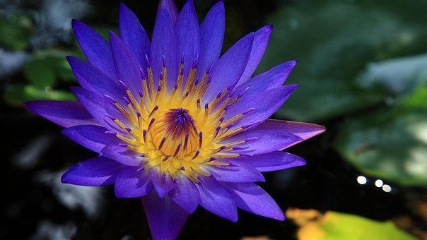 Les effets du lotus bleu pour une ouverture de conscience