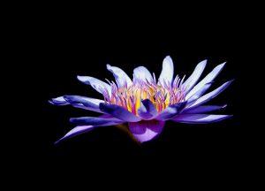 Lotus bleu et rêves lucides