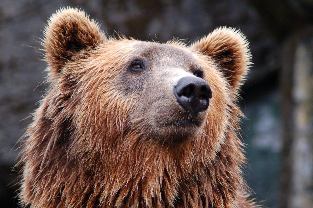 Découvrez l'ours, l'animal médecine du chamanisme !