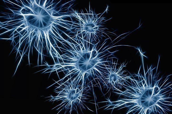 Glandes endocrines et neurones