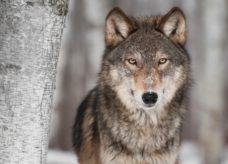 Le loup, fabuleux animal de pouvoir dans le chamanisme