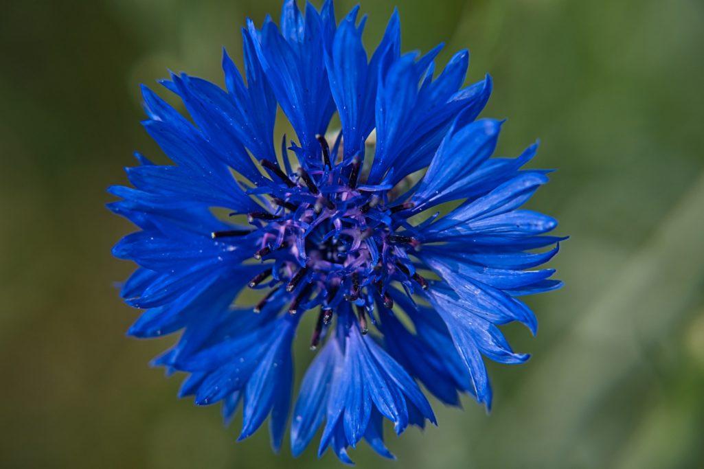 Le bleuet, un véritable miracle pour vos yeux !