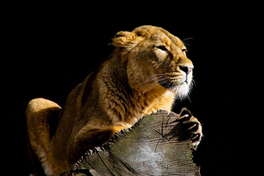 Lionne et griffes