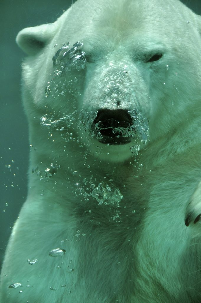 Ours polaire eau