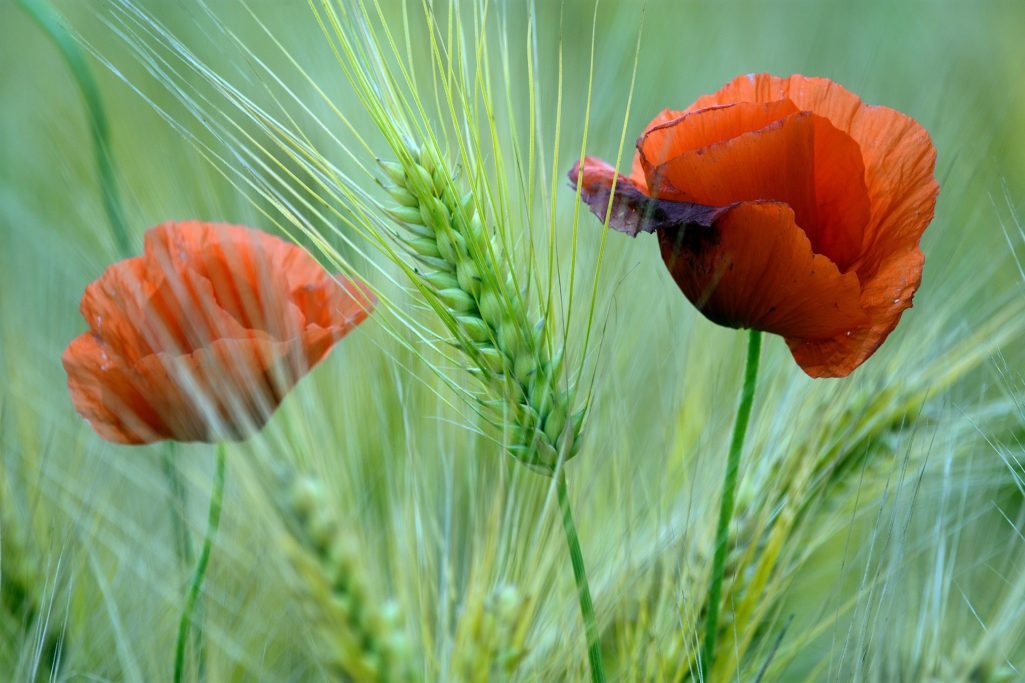 Poppy & corn