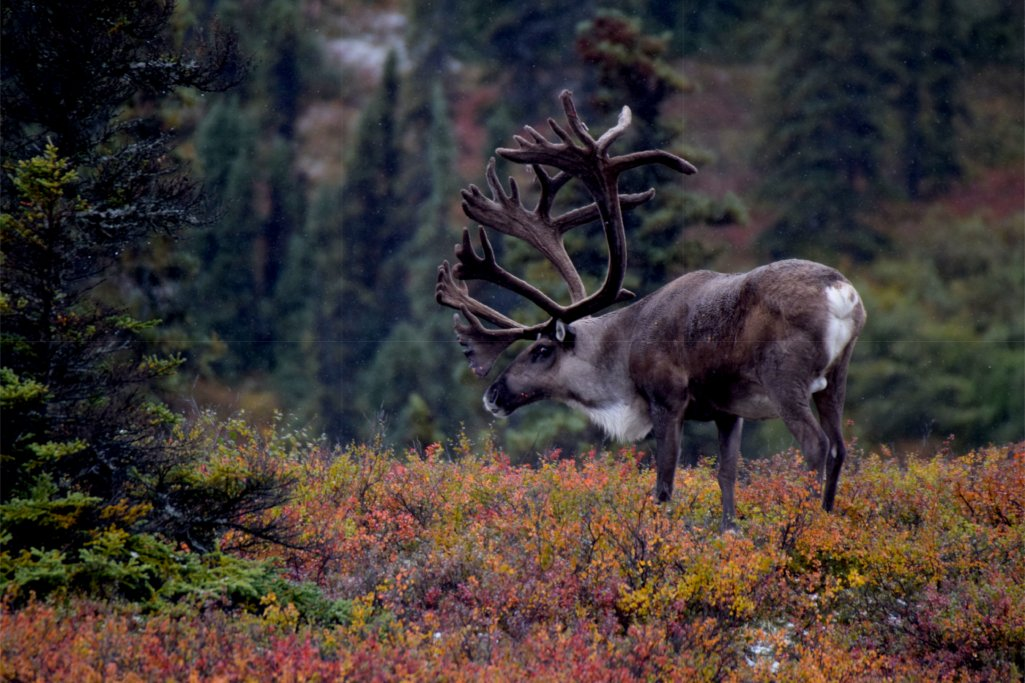 Découvrez le renne, le cervidé migrateur des régions polaires !
