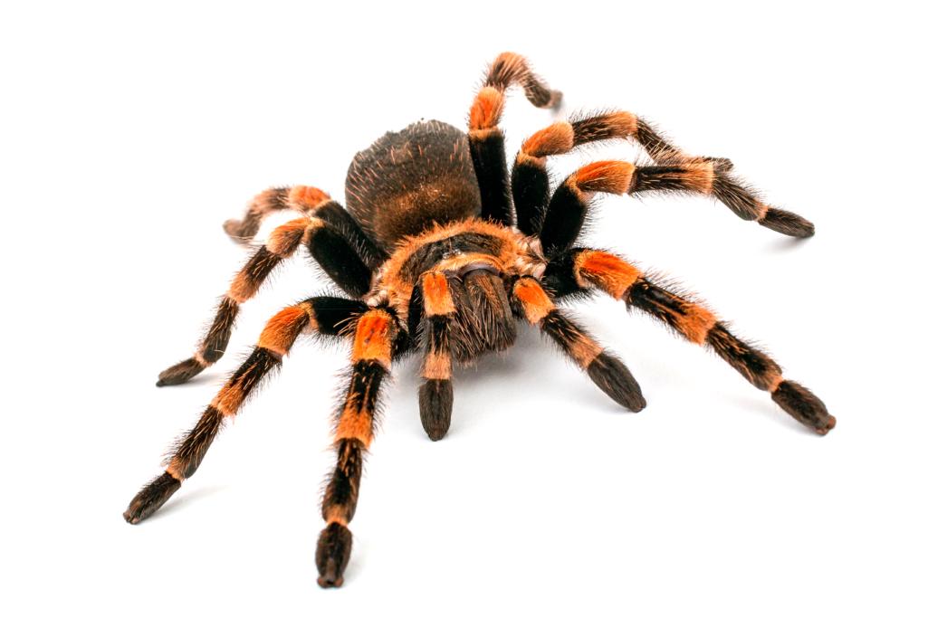 La tarentule, l'araignée qui vit dans des trous