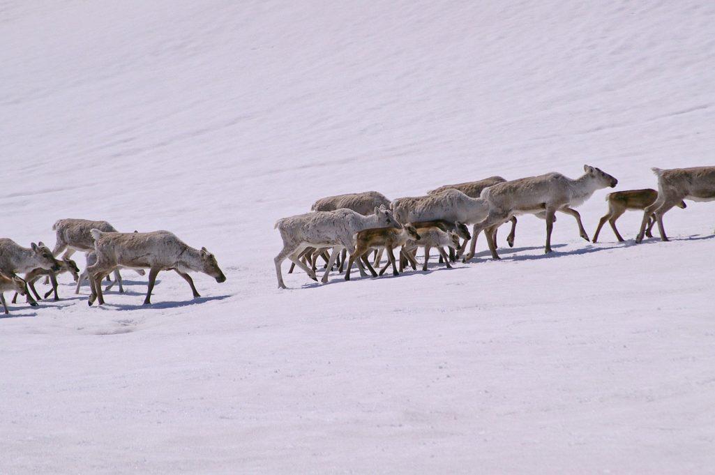 Troupeau de rennes en migration