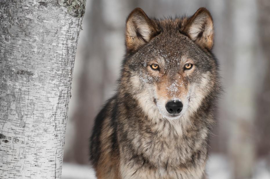 Découvrez le pouvoir impressionnant du loup !